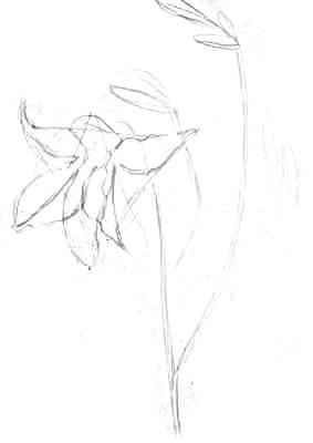 Нарисуем лилию карандашом