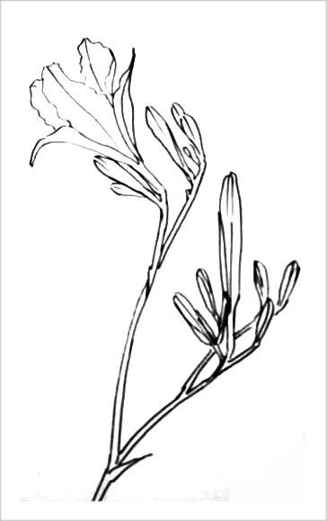 Рисунок-раскраска лилия