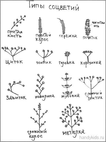 Таблица Типы соцветий