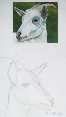 Рисуем  строение морды козы