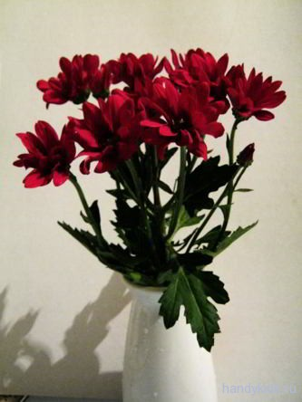 Хризантема фотография