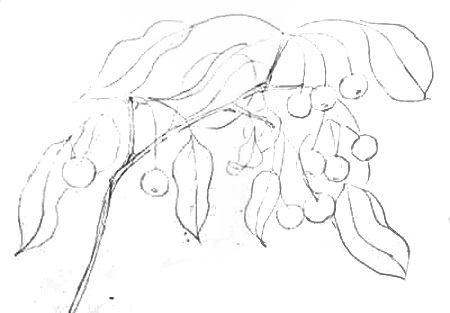 Нарисуем ветку яблони