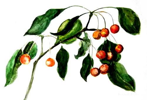 Ветка яблони рисунок