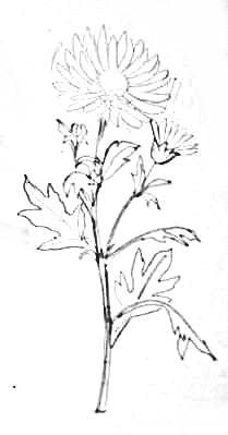 Хризантема - рисунок карандашом