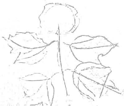 Рисуем ветку калины