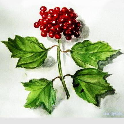 ягоды калины -рисунок с натуры.