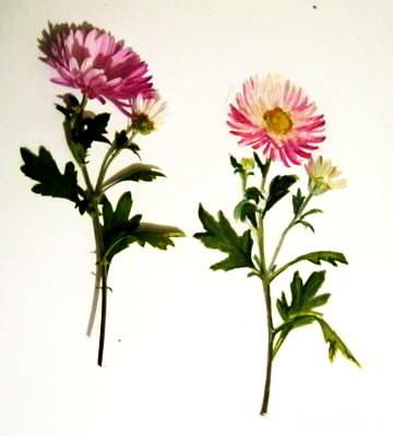 Хризантема -рисунок акварелью