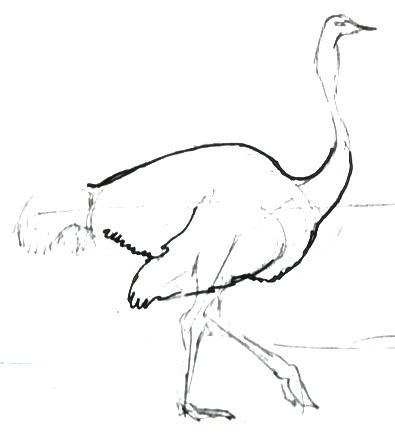 Нарисуем страуса  поэтапно