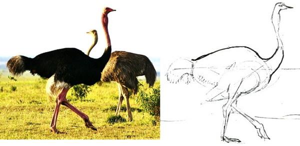 Как нарисовать страуса карандашом