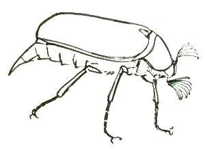 Майский Жук рисунок -вид сбоку
