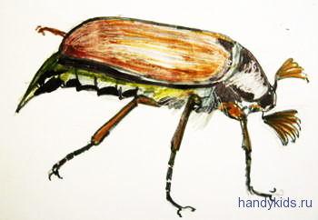Майский жук рисунок -самка
