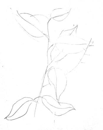 Рисуем черёмуху карандашом