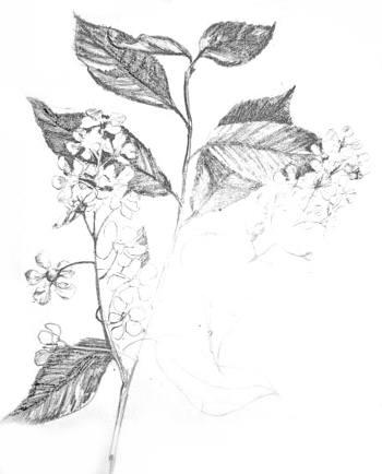 Черёмуха рисунок карандашом