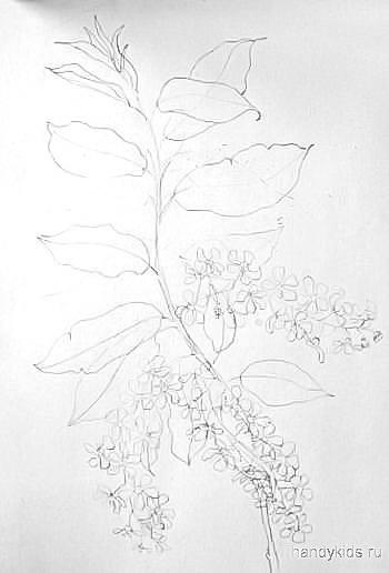 Черёмуха -рисунок карандашом