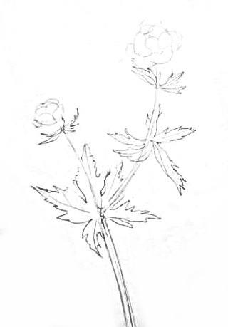 Купальница -рисунок карандашом