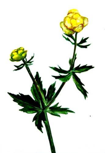 Рисунок Купальница италмас