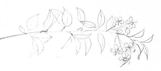 Ветка вишни -рисунок карандашом