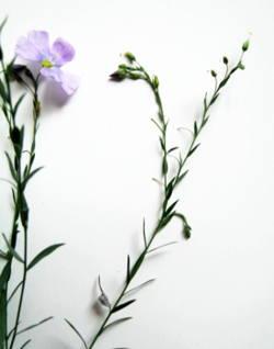 Лён -растение