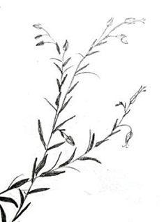 Нарисуем растение Лён