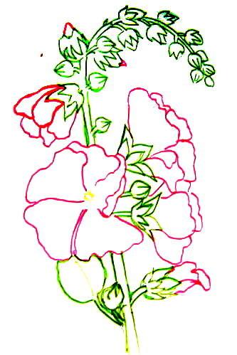 Мальва рисунок 7