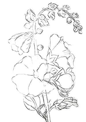 Мальва -рисунок карандашом