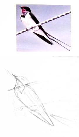 Как нарисовать сидящую ласточку