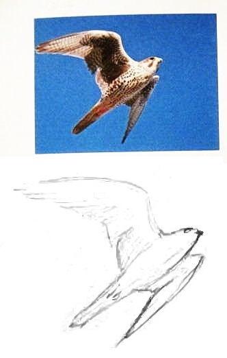 Как нарисовать сокола
