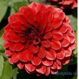 Махровый цветок фотография.