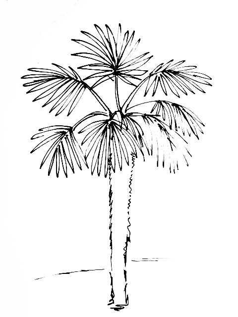 Веерная пальма рисунок