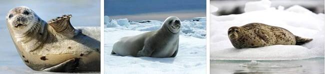 Тюлени фото