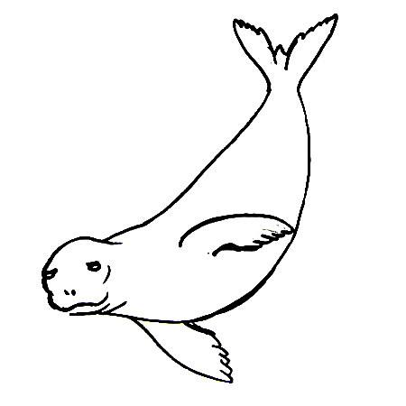 Рисунок-раскраска Тюлень