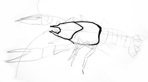 Рисуем туловище рака