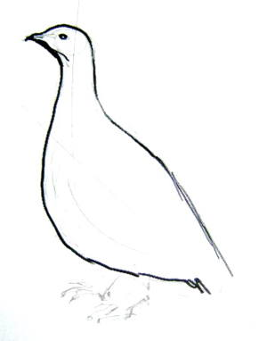 Рисуем белую куропатку