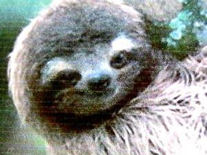 Голова ленивца