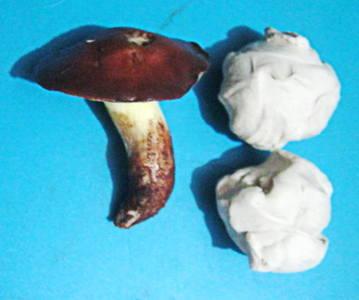 Слепим гриб Маслёнок
