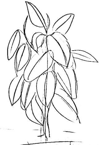 Фикус рисунок 13