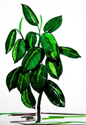 Рисунок фикус каучуконосный(эластический) 17