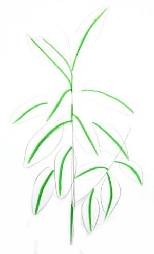 Рисуем  домашнее растение фикус.