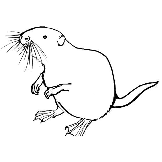 Рисунок Нутрия(ондатра)