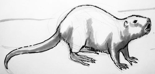 Как нарисовать ондатру