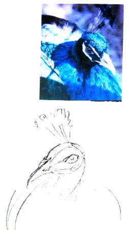 Как нарисовать голову павлина