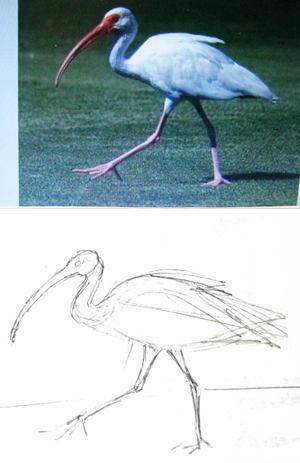 Как нарисовать ибиса