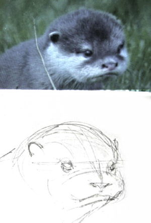 Как нарисовать голову и мордочку выдры