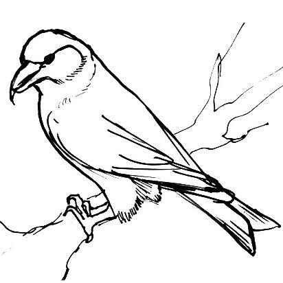 Как нарисовать птицу клеста поэтапно