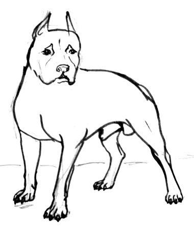 Питбуль -рисунок