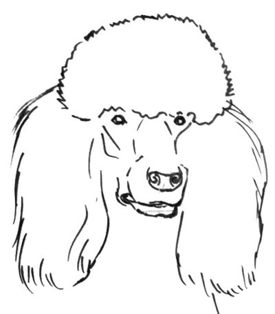 Голова пуделя рисунок