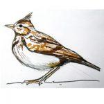 Как нарисовать полевого жаворонка и раскраска жаворонок