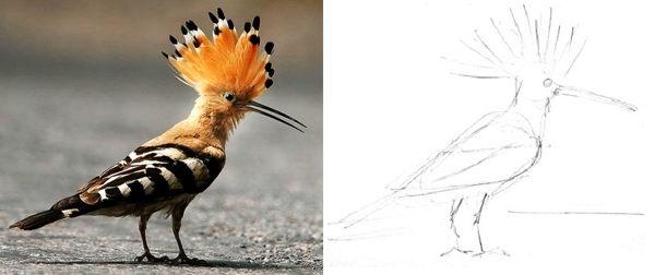 Как нарисовать Удода