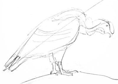 Эскиз кондора карандашом