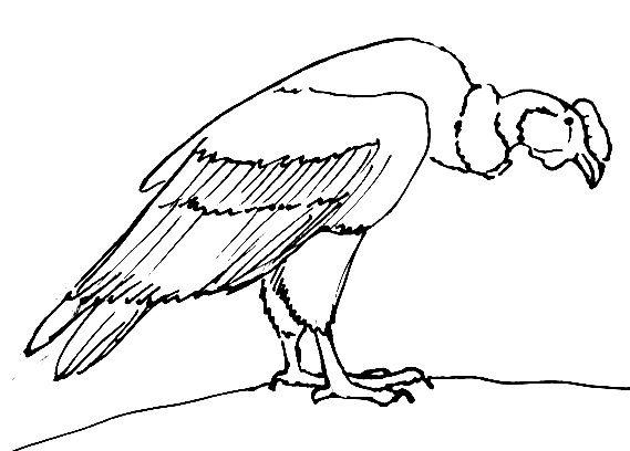 Рисунок андский кондор